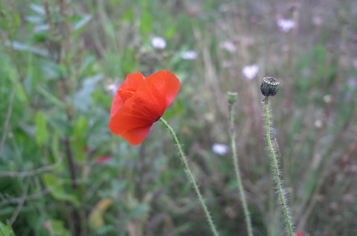 Coquelicot - La bonne herbe du mois