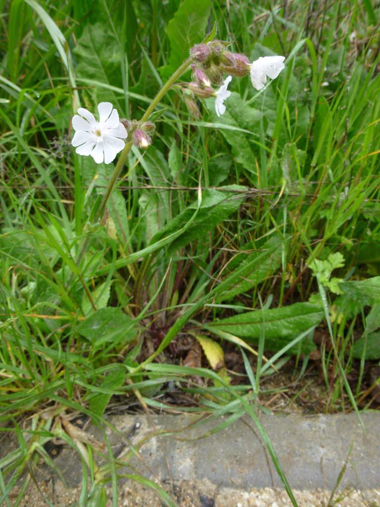 Le compagnon blanc - La bonne herbe du mois