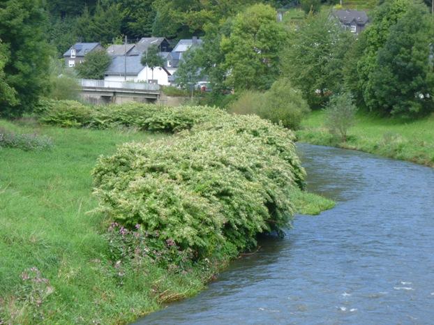 Une renouée du Japon envahissante au bord d'une rivière en Allemagne.