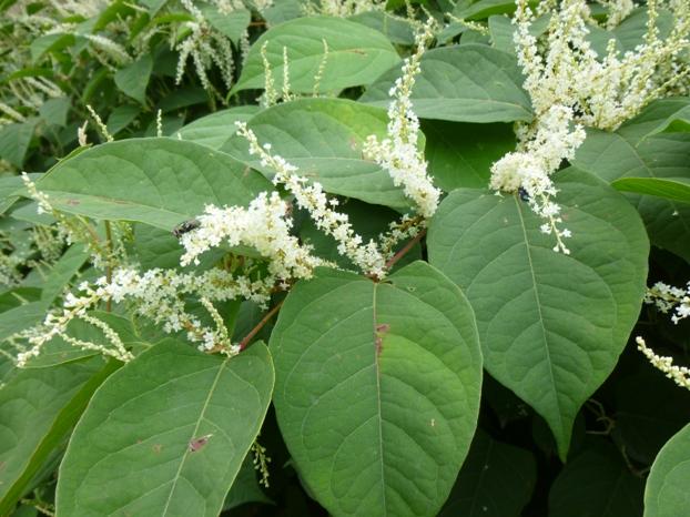 Renouée du Japon : fleurs et feuilles