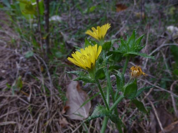 La Picride fausse-vipérine : une fleur avec bractées internes et externes. Photo : Lothar W.