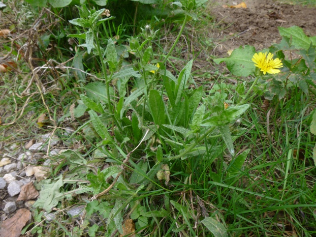 La plante entière avec ses feuilles aux verrues blanches. Photo : Lothar W.