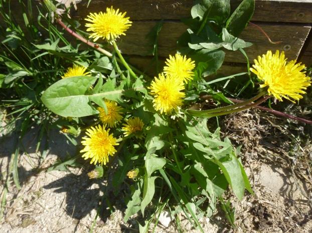 Pissenlit commun : plante entière